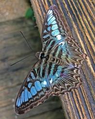 2016.06.21 Butterfly Rainforest Butterfly 3