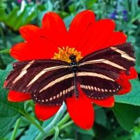 2016.06.21 Butterfly Rainforest Zebra-wing