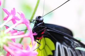2017.01.15 Butterfly Rainforest Butterfly 1
