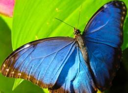 2017.02.20 Butterfly Rainforest Blue Morpho 2