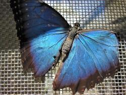 2017.05.06.Butterfly Rainforest Blue Morph