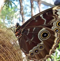 2017.05.06.Butterfly Rainforest Blue Morph2