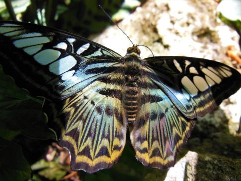 2017.05.06.Butterfly Rainforest Butterfly