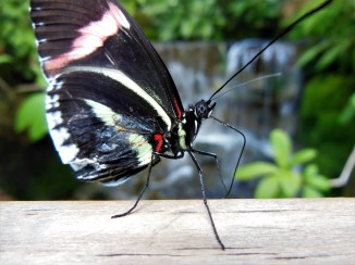 2017.05.14 Butterfly Rainforest Butterfly 3