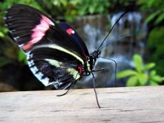 2017.05.14 Butterfly Rainforest Butterfly 4
