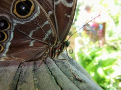 2017.05.27 Butterfly Rainforest Butterfly 11