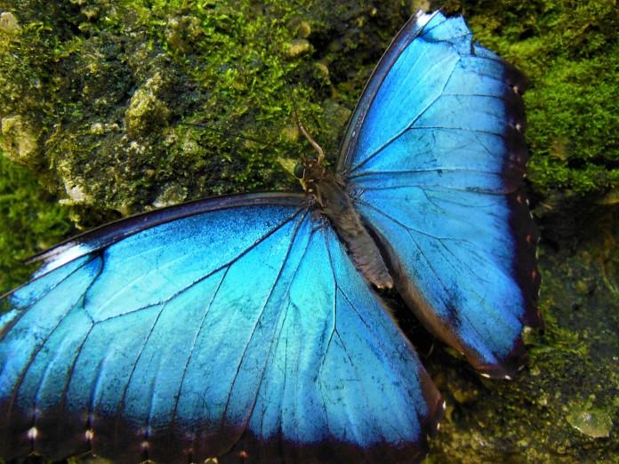 2017.05.27 Butterfly Rainforest Butterfly 5