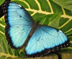 2017.06.03 Butterfly Rainforest Butterfly 5