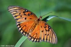 2017.07.11 La Chua Trail Butterfly 1.CR