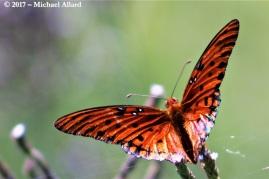 2017.07.11 La Chua Trail Butterfly 6.CR