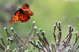 2017.07.11 La Chua Trail Butterfly 7.CR