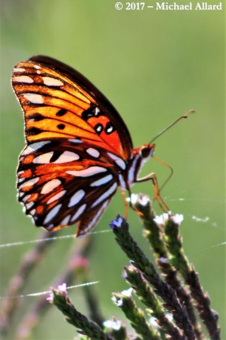 2017.07.11 La Chua Trail Butterfly 8.CR