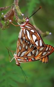 2017.08.05.La Chua Trail Gulf Fritillary Making Caterpillars 3