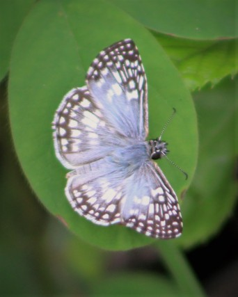 2017.08.05.La Chua Trail Tropical Checkered Skipper