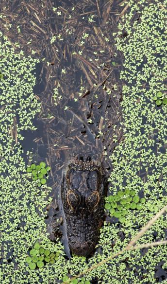 AmeriAmerican Alligatorcan Alligator