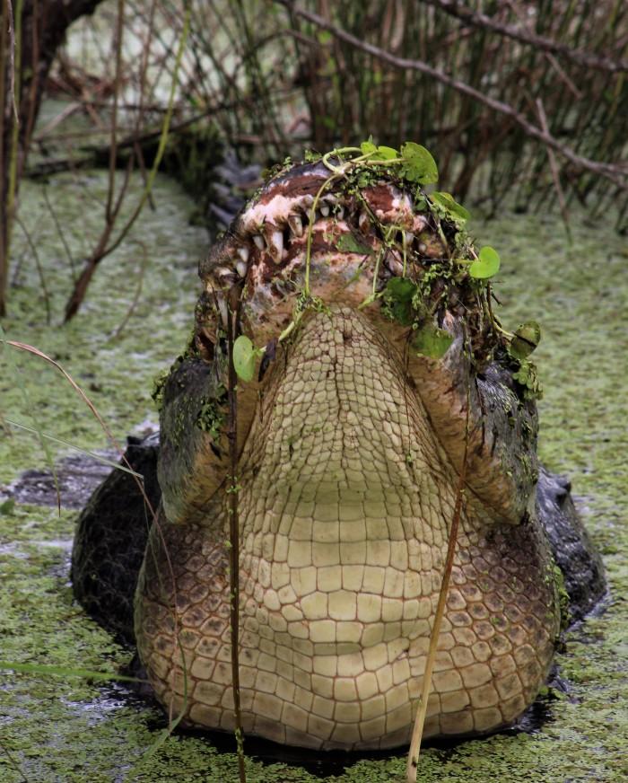 2017.09.02 La Chua Trail Alligator 6
