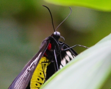 2017.09.16 Butterfly Rainforest Butterfly 11