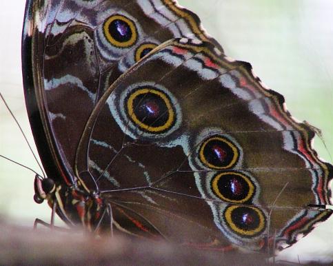 2017.09.16 Butterfly Rainforest Butterfly 12