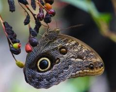 2017.09.16 Butterfly Rainforest Butterfly 13