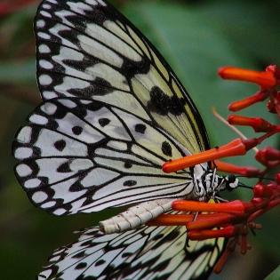 2017.09.16 Butterfly Rainforest Butterfly 7