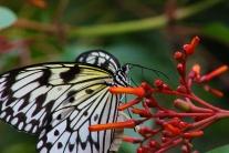 2017.09.16 Butterfly Rainforest Butterfly 8