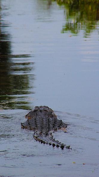 2017.09.16 Paynes Prairie 441 Overlook Alligator 2