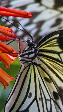 2017.09.30 Butterfly Rainforest Butterfly 6