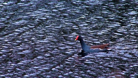 The Gallinule