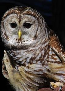 2017.12.16 Devil's Millhopper - Sunrise Wildlife Rehabilitation Barred Owl 1
