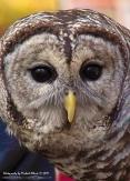 2017.12.16 Devil's Millhopper - Sunrise Wildlife Rehabilitation Barred Owl 2 CR