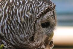 2017.12.16 Devil's Millhopper - Sunrise Wildlife Rehabilitation Barred Owl 4 CR