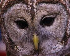 2017.12.16 Devil's Millhopper - Sunrise Wildlife Rehabilitation Barred Owl 5