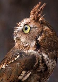 2017.12.16 Devil's Millhopper - Sunrise Wildlife Rehabilitation Eastern Screech Owl 1