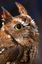 2017.12.16 Devil's Millhopper - Sunrise Wildlife Rehabilitation Eastern Screech Owl 2