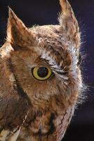 2017.12.16 Devil's Millhopper - Sunrise Wildlife Rehabilitation Eastern Screech Owl 3