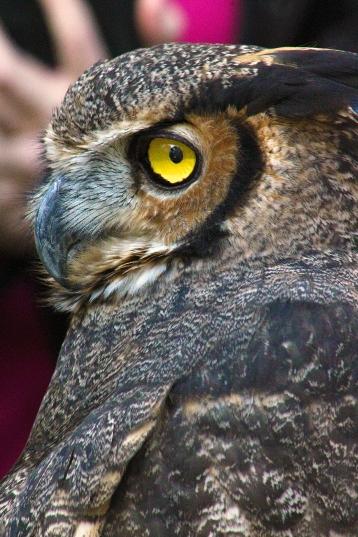 2017.12.16 Devil's Millhopper - Sunrise Wildlife Rehabilitation Great Horned Owl 4