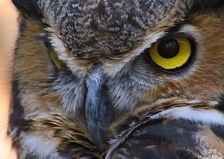 2017.12.16 Devil's Millhopper - Sunrise Wildlife Rehabilitation Great Horned Owl 8 CR