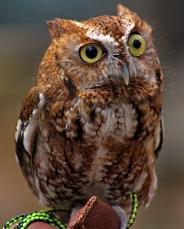 2018.03.10 Sunrise Wildlife Rehabilitation @Devil's Millhopper Eastern Screech Owl 'Ruby' 11