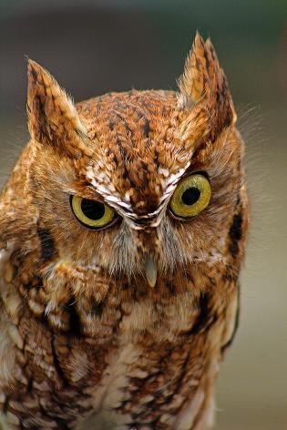 2018.03.10 Sunrise Wildlife Rehabilitation @Devil's Millhopper Eastern Screech Owl 'Ruby' 12