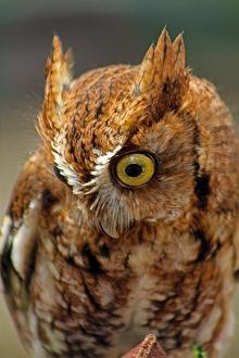 2018.03.10 Sunrise Wildlife Rehabilitation @Devil's Millhopper Eastern Screech Owl 'Ruby' 13