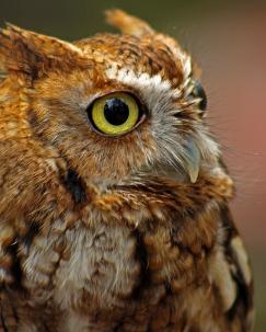 2018.03.10 Sunrise Wildlife Rehabilitation @Devil's Millhopper Eastern Screech Owl 'Ruby' 14