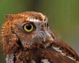 2018.03.10 Sunrise Wildlife Rehabilitation @Devil's Millhopper Eastern Screech Owl 'Ruby' 15