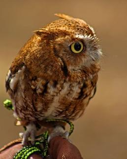 2018.03.10 Sunrise Wildlife Rehabilitation @Devil's Millhopper Eastern Screech Owl 'Ruby' 2