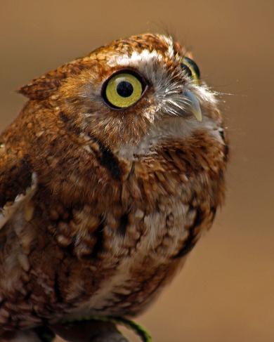2018.03.10 Sunrise Wildlife Rehabilitation @Devil's Millhopper Eastern Screech Owl 'Ruby' 3