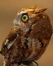 2018.03.10 Sunrise Wildlife Rehabilitation @Devil's Millhopper Eastern Screech Owl 'Ruby' 4