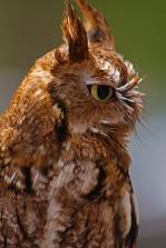 2018.03.10 Sunrise Wildlife Rehabilitation @Devil's Millhopper Eastern Screech Owl 'Ruby' 6