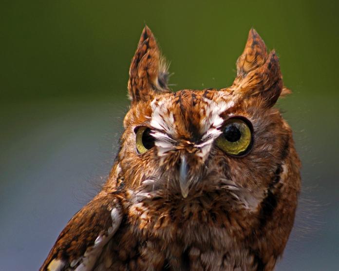 2018.03.10 Sunrise Wildlife Rehabilitation @Devil's Millhopper Eastern Screech Owl 'Ruby' 7