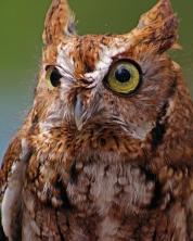 2018.03.10 Sunrise Wildlife Rehabilitation @Devil's Millhopper Eastern Screech Owl 'Ruby' 8