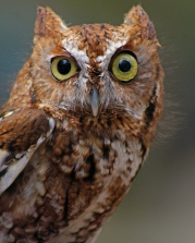 2018.03.10 Sunrise Wildlife Rehabilitation @Devil's Millhopper Eastern Screech Owl 'Ruby' 9