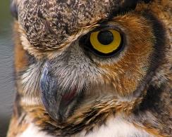 2018.03.10 Sunrise Wildlife Rehabilitation @Devil's Millhopper Great Horned Owl 'Einstein' 1